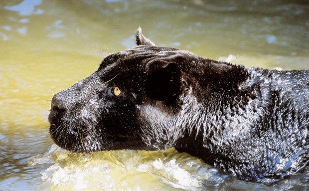 Onça-preta (Panthera onca): vive na Amazônia