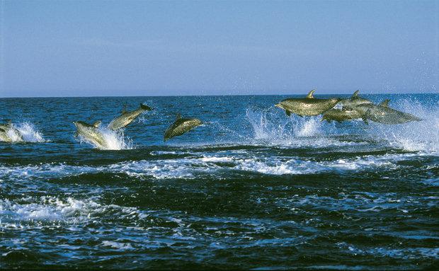 Golfinho-pintado-do-atlântico (Stenella frontalis): vive no Litoral brasileiro