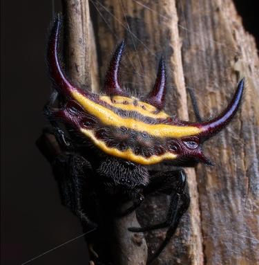 """A pequena Gasteracantha falcicornis faz parte de um colorido grupo de aracnídeos conhecido como """"espinhosas"""". Inofensivas aos humanos, estas espécies são famosas por seus escudos pontudos."""