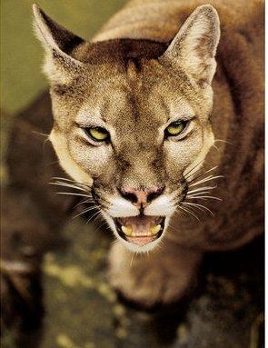 Suçuarana (Puma concolor): vive na Amazônia, Cerrado, Mata Atlântica e Pantanal