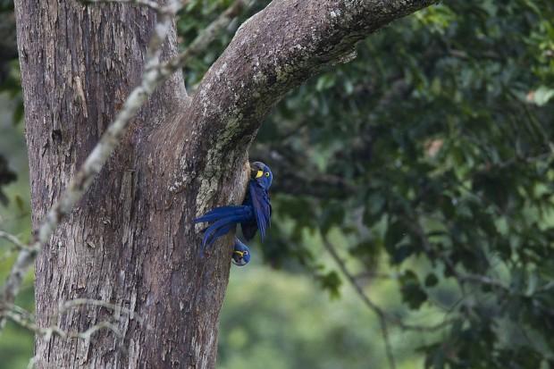 Ninho de araras-azuis em uma árvore conhecida como estopeira