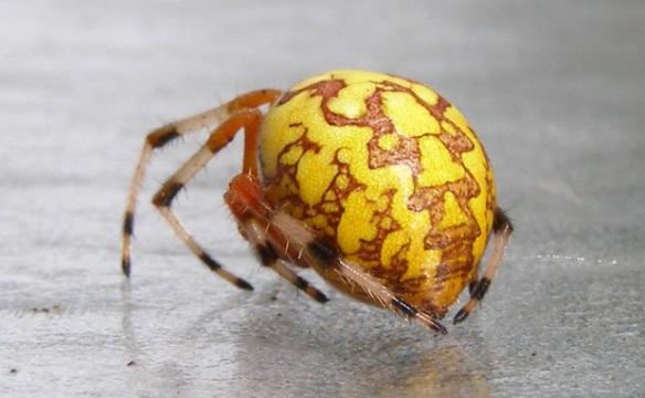 Araneus marmoreus são aranhas inconfundíveis. O abdômen opulento, com padrões semelhantes aos do mármore, rendeu-lhes o nome de tecedeiras-marmoreadas.