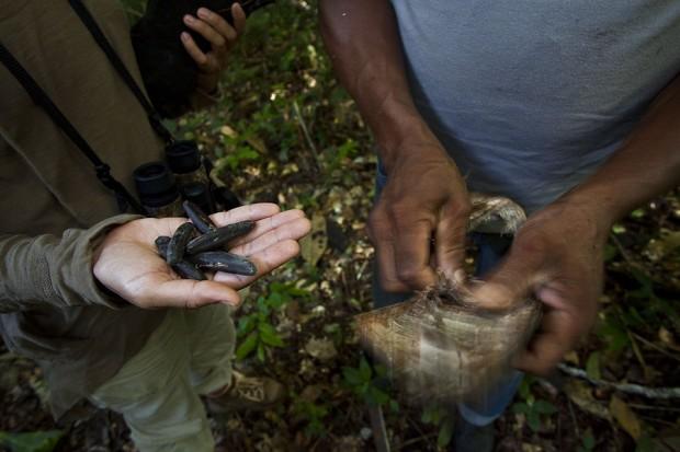 Pesquisadores coletam sementes de faveira, possível alimento das araras