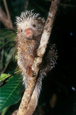 Ouriço-cacheiro (Coendou prehensilis): vive na Amazônia, Mata Atlântica e Pantanal