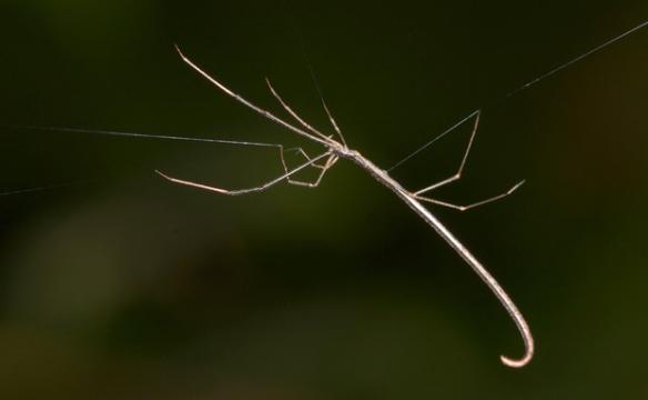 Bicho-pau? Olhe de novo. Esta é uma Argyrodes colubrinus, aranha especializada em caçar outras aranhas, como as armadeiras (da família Ctenidae).