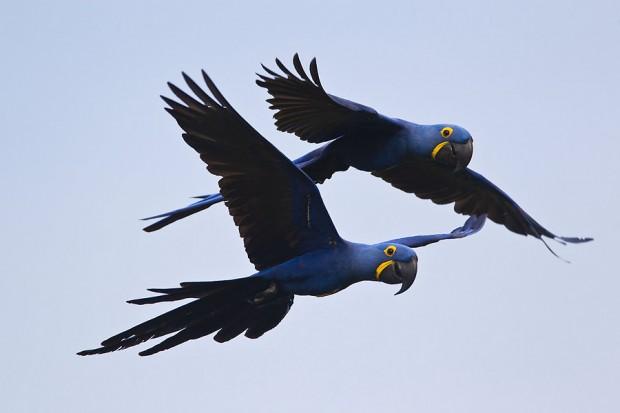Casal de araras-azuis na região de Canaã dos Carajás, Pará