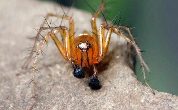 """Os palpos da Oxyopes salticus parecem """"calçados"""" em pantufas pretas. Esta espécie integra um grupo conhecido como aranhas-lince e ajuda agricultores brasileiros a controlar pragas nas plantações de soja."""