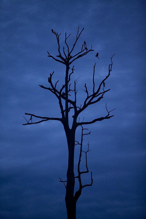 Ao anoitecer algumas araras se abrigaram nessa enorme árvore seca