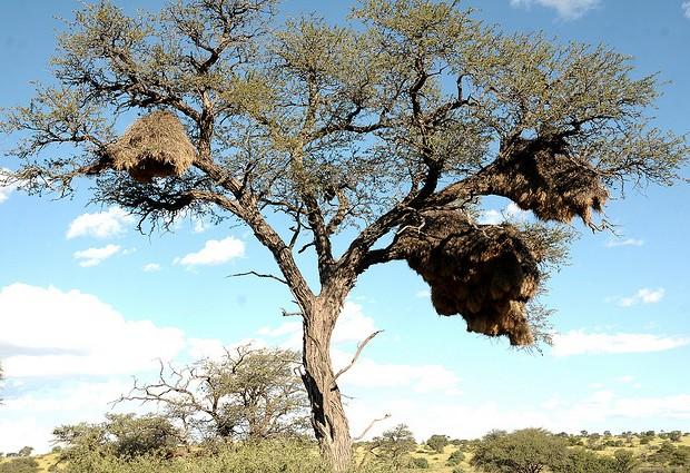 Los árboles se convierten en complejas piezas de arquitectura en donde viven cientos de tejedores. Bird Brian/Creative Commons