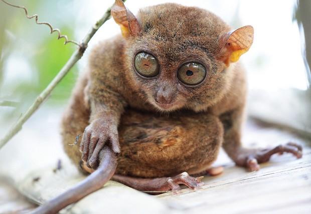 Los tarsius pertenecen a la familia de los primates y se los reconoce por sus ojos enormes. Stefan Munder/Creative Commons.