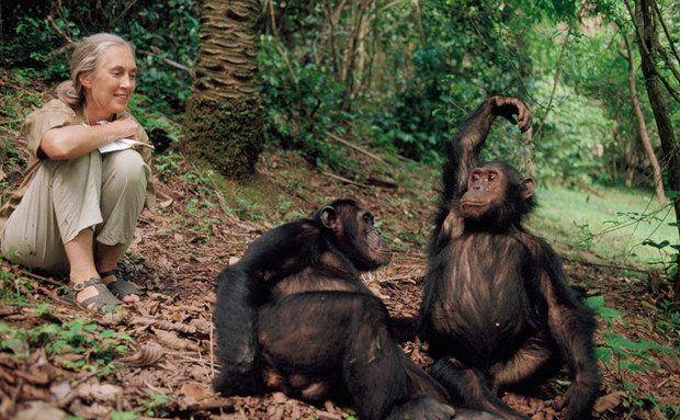 Jane Goodall examina o comportamento dos chimpanzés bem próxima deles. Foto: Joel Sartore
