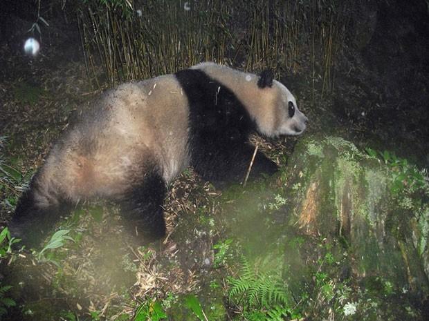 Exemplar de urso panda em floresta na China (Foto: WWF/Peking University)
