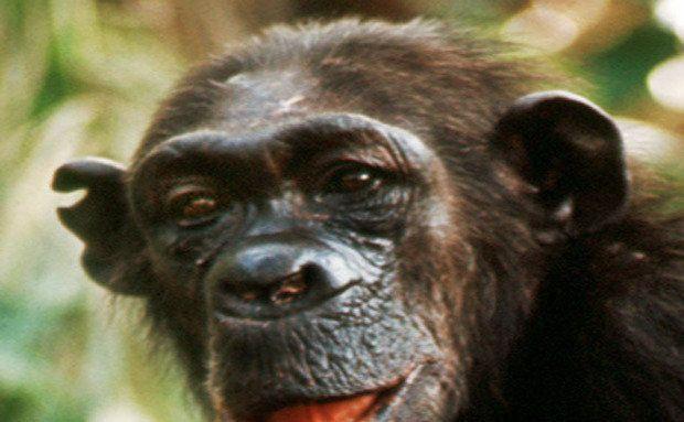 Flo era uma mãe atenta e brincalhona. Estima-se que tenha vivido 53 anos, uma das vidas mais longas registradas em Gombe. Foto: Foto cedida pelo Jane Goodall Institute