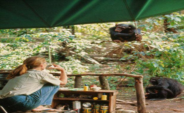 """Quem observa quem? Jane troca olhares com Fifi, um dos primeiros chimpanzés que estudou. A cerca impede que os primatas invadam o acampamento e espalhem as provisões. Fifi tornou-se a principal matriarca, com sete filhos vivos em um total de nove crias - a maior prole. Mas ela e sua cria mais nova sumiram em 2004, """"um momento de imensa tristeza"""", diz Jane. Foto: Hugo Van Lawick"""