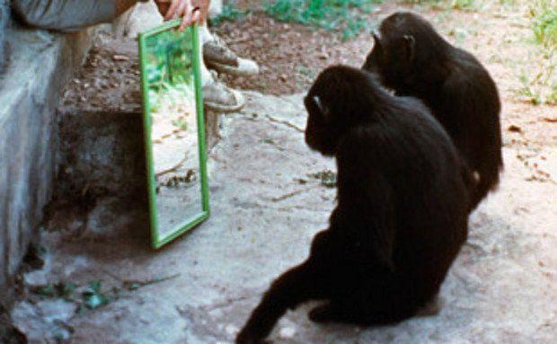 1970: Chimpanzés olham-se no espelho. Foto: David Bygott