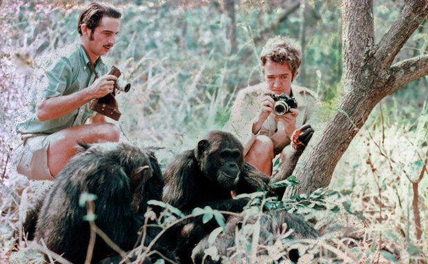 1971: Registro de chimpanzés com presas. Foto: David Bygott