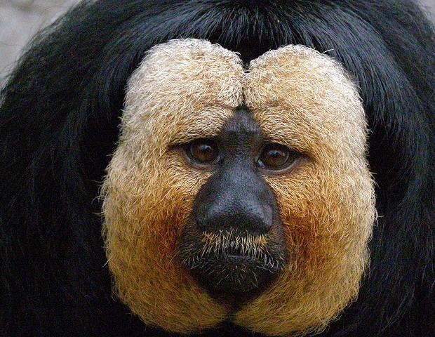 ¿Quién puede negarse a esa carita? Los monos saki viven en los árboles. belgianchocolate/Creative Commons.