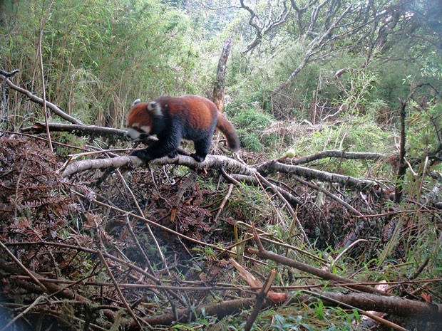 Exemplar de panda-vermelho que vive em áreas preservadas da China (Foto: WWF/Peking University)