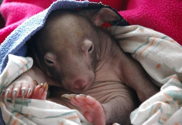 Los wombats son marsupiales nativos de Australia. Percita/Creative Commons.