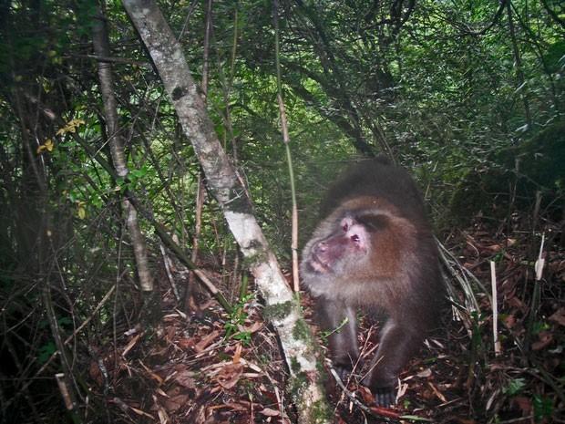 Exemplar de macaco-tibetano visto na região de Sichuan (Foto: WWF/Peking University)