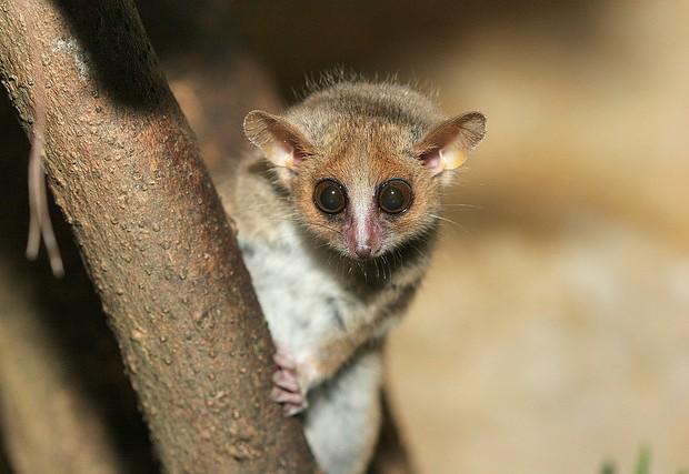 Los lemures ratones están entre los primates más pequeños del planeta. A J. Haverkamp/Creative Commons.