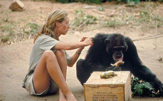 Bananas ajudavam Jane a ganhar a confiança dos chimpanzés. David Greybeard, que comeu 50 bananas de uma vez, foi o primeiro de Gombe a perder o medo do contato - ele deixou que Jane lhe fizesse grooming (limpeza dos pelos, uma prática que entre os primatas tem significados sociais e afetivos). Como hoje sabemos que os chimpanzés não possuem imunidade contra certas doenças, os cientistas de Gombe mantêm distância mínima de 8 metros. Foto: Hugo Van Lawick