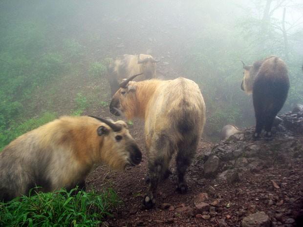 Grupo de takins, animal encontrado nas montanhas chinesas (Foto: WWF/Peking University)