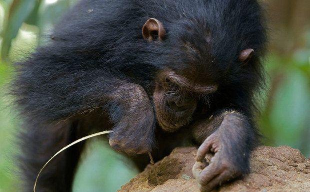 """Em um memorando, Leakey, o mentor de Jane, deu a ela o crédito de uma descoberta que nos ajudou a redefinir o significado de ser humano: os chimpanzés fazem ferramentas. Três anos antes, Jane os observara """"pescando"""" cupim com talos de planta. Este chimpanzé, fotografado em 2005, mostra uma concentração à altura da humana para obter sua refeição num cupinzeiro. Foto: Ingo Arndt, Minden Pictures"""