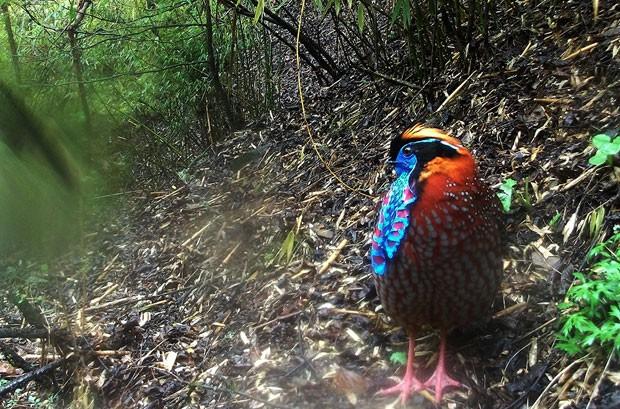 Exemplar de tragopã-de-cara-azul, ave encontrada apenas na Ásia (Foto: WWF/Peking University)
