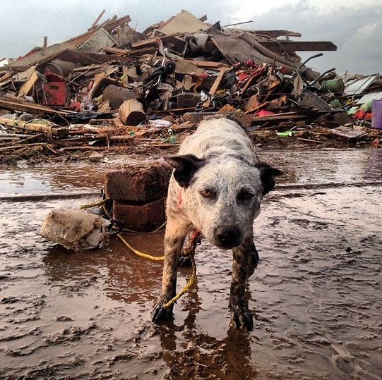 PHOTO: @MikeJenkinsTV says this dog survived the Moore, Oklahoma tornado with family in storm shelter: PHOTO: @MikeJenkinsTV says this dog survived the Moore, Oklahoma tornado with family in storm shelter: