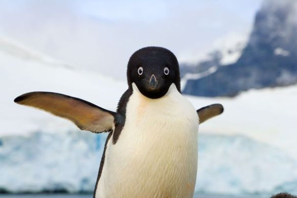 An Adélie penguin flaps its wings, which help the bird to swim. Photograph by John Eastcott and Yva Momatiuk, National Geographic