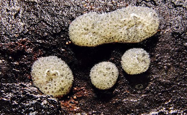 Primeiro registro brasileiro da espécie de esponja de água doce Racekiela cavernicola na Lapa dos Brejões, na Bahia.