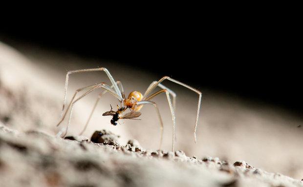 A aranha-marrom (loxosceles) se alimenta de uma mosca. É uma espécie trogófila e muito comum nas cavernas brasileiras.
