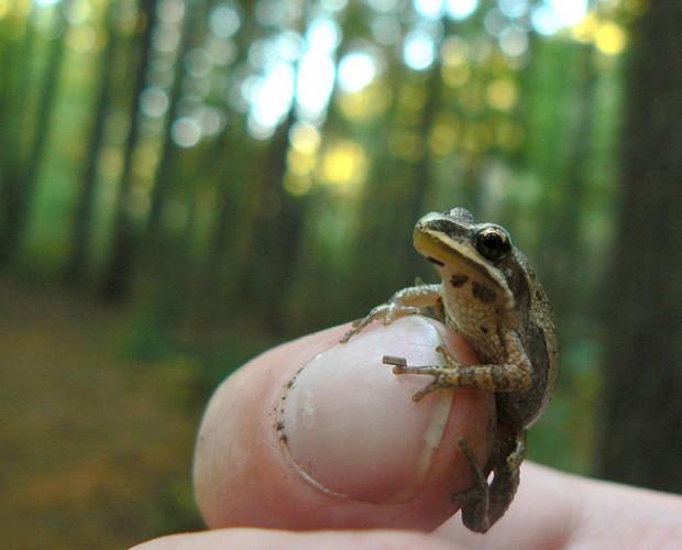 Muchas especies de ranas pequeñas son venenosas. Benimoto/Creative Commons