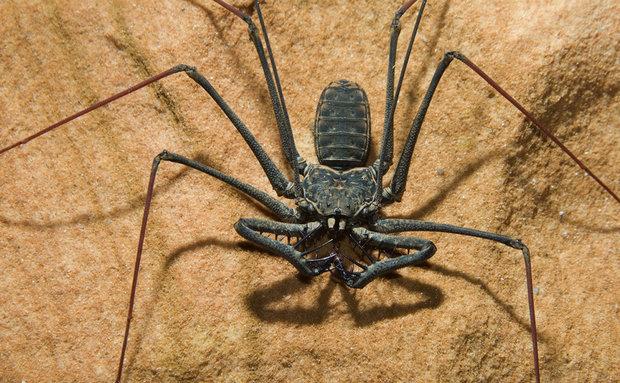 Predadores de topo os amblipígeos do gênero Heterophynus caçam de tudo, mas têm preferência por grilos. São comuns nas cavernas mais quentes do Brasil.