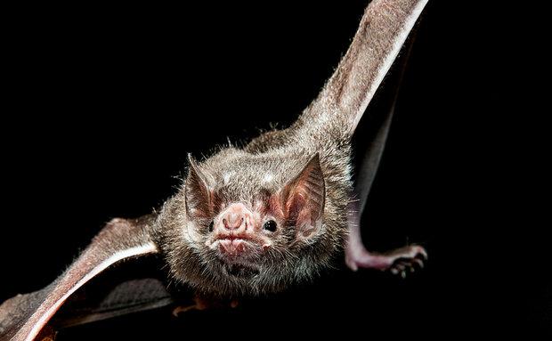 O morcego Desmodus rotundus é o hematófago (animal que se alimenta de sangue) mais amplamente distribuído em todo o Brasil.