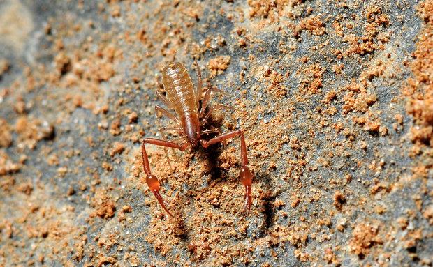 O pseudo-escorpião da família Olpiidae é um aracnídeo trogomórfico e predador de topo de cadeia. É encontrado em cavernas de Minas Gerais.