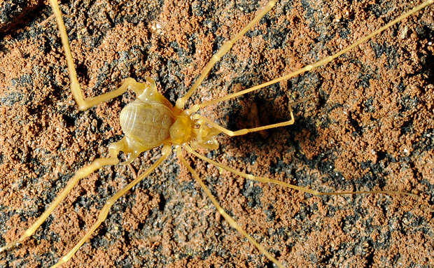 O opilião troglóbio Iandumoema uai, só foi encontrado em uma única caverna no norte de Minas Gerais. O aracnídeo vive restrito a locais extremamente úmidos.