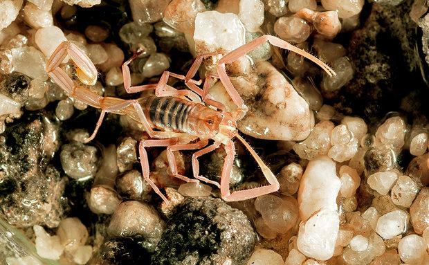 Este raro escorpião (Troglorhopalurus translucidus) é a primeira espécie descrita no Brasil que vive exclusivamente em cavernas. Apresenta características troglomórficas, como a redução na pigmentação.