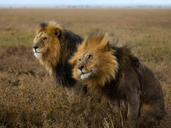 Lions, as seen in Serengeti National Park, can be dated by examining their fur and other attributes. Photograph by Michael Nichols, National Geographic