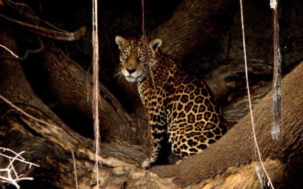 Onça-pintada (Panthera onca), o maior felino das Américas – Foto: Fábio Paschoal