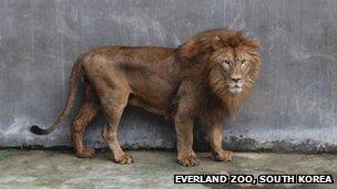 ... as was SunDol, an African lion