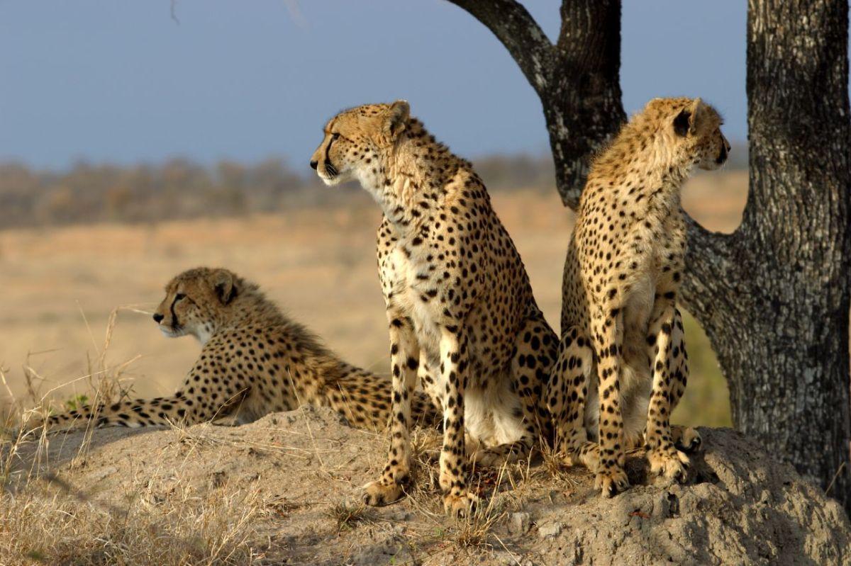 Tierno labrador cachorro adoptado, ¡por dos guepardos!