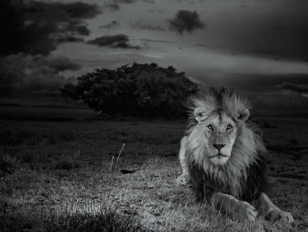 serengeti-lion-615