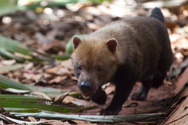 O cachorro-vinagre (Speothos venaticus), também conhecido como cachorro-do-mato-vinagre ou cachorro-do-mato, está na categoria vulnerável do Livro Vermelho da Fauna Brasileira Ameaçada de Extinção – Foto: João Marcos Rosa