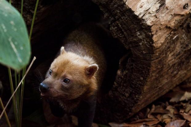 O cachorro-vinagre caça de dia. De noite se recolhe para dormir em tocas ou cavidades de árvores – Foto: João Marcos Rosa