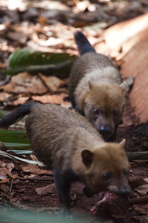 O casal de cachorros-vinagre chegou ao Parque Zoobotânico de Parauapebas há pouco mais de um ano, ainda filhotes. No mês passado os dois animais foram colocados em um ambiente feito especialmente para a reprodução da espécie em cativeiro – Foto: João Marcos Rosa