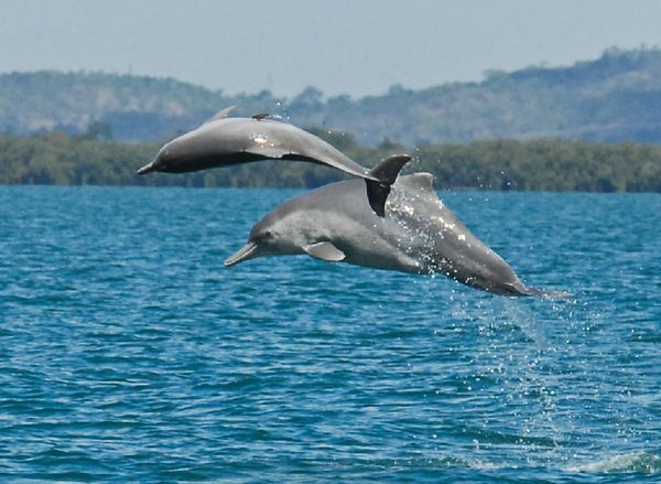 Two individual animals from an as-of-yet unnamed species of humpback dolphin jump in the waters off northern Australia. Photo credit: Guido Parra