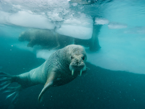 Photograph by Paul Nicklen