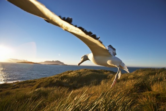 A wandering albatross lands at a nest site on South Georgia Island, Antarctica. Photograph by Paul Souders, Corbis